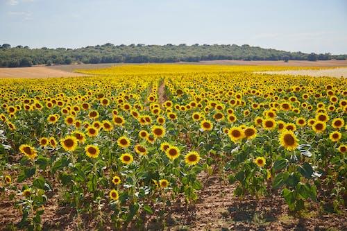 Free stock photo of campo, campo de girasoles, girasol, girasoles