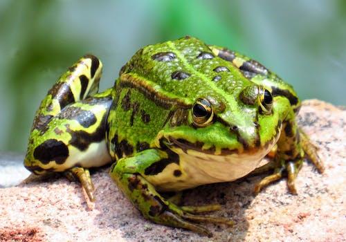 Foto stok gratis agustus, amfibi, amphibien