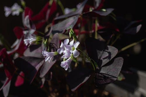 Ilmainen kuvapankkikuva tunnisteilla kasvi, kesän kasvi, lila, oksaliskolmio