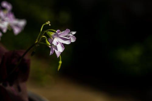 Ilmainen kuvapankkikuva tunnisteilla kukat, kukka, lila, oksaliskolmio