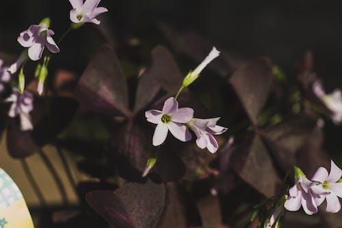Ilmainen kuvapankkikuva tunnisteilla kasvi, kukka, lila, oksaliskolmio