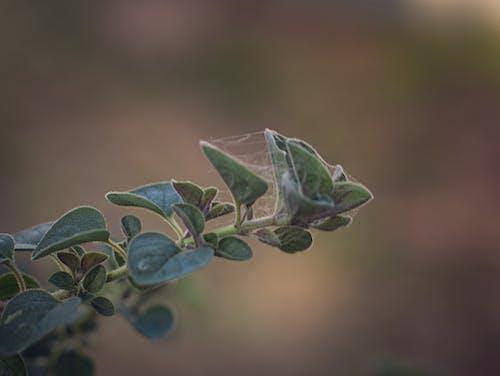 Ilmainen kuvapankkikuva tunnisteilla kasvi, lähikuva, oregano, tehdas