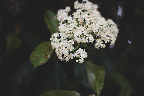 Ilmainen kuvapankkikuva tunnisteilla jousi, kevät, kukka, valkoinen