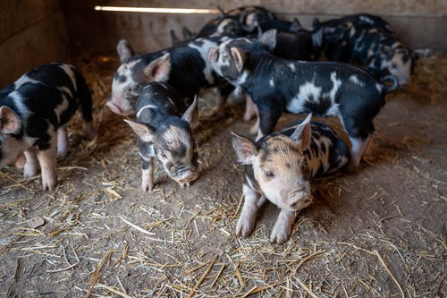 From above cute black and white piglets with funny curvy tails playing together on rural barn ground