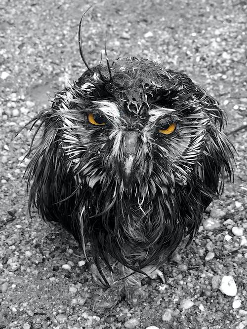 Free stock photo of bird, black and white, owl
