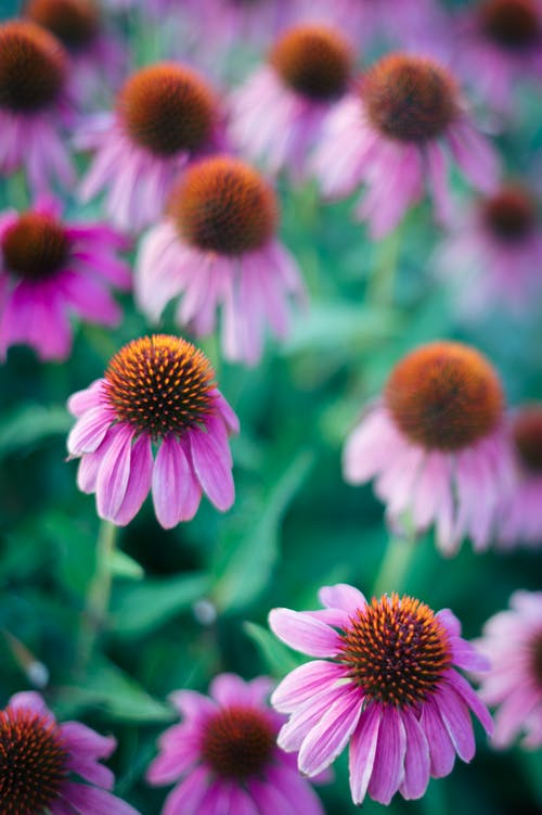 High angle scenery of delicate fragrant daisies with pink petals blooming on abundant lawn in summer nature