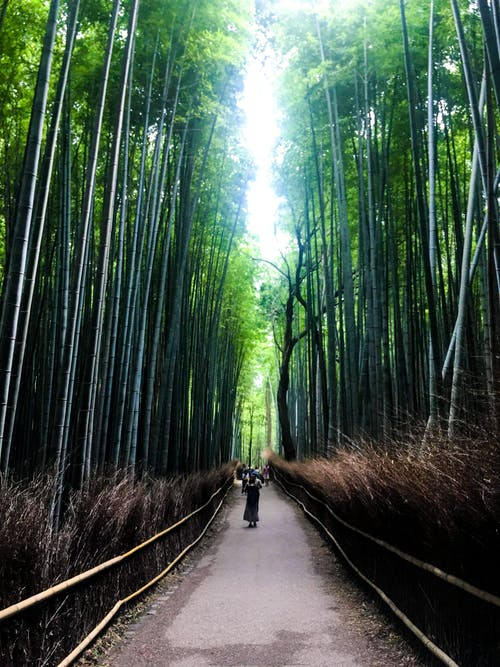 Free stock photo of asia, autumn, bamboo, bamboo forest
