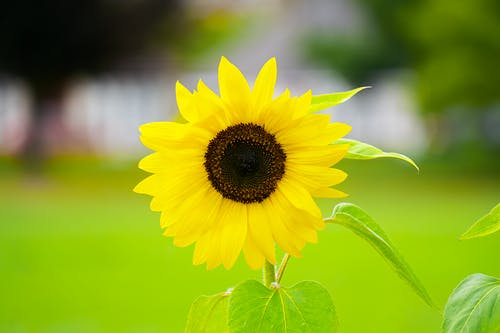 Yellow Sunflower in Close Up