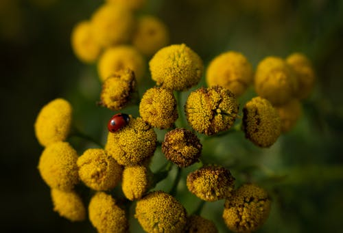 Red Ladybug Perched on Yellow Flower in Close Up Photography