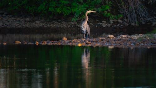 佛羅里達大沼澤地, 反射, 家禽, 戶外 的 免費圖庫相片