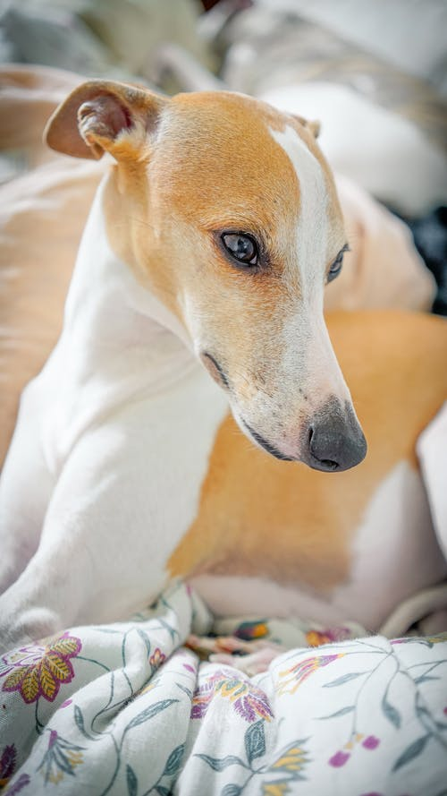 Whippet resting on crumpled blanket at home