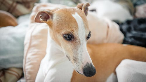 Friendly cute Whippet dog resting on cozy pillows in sunny bedroom and looking away with interest