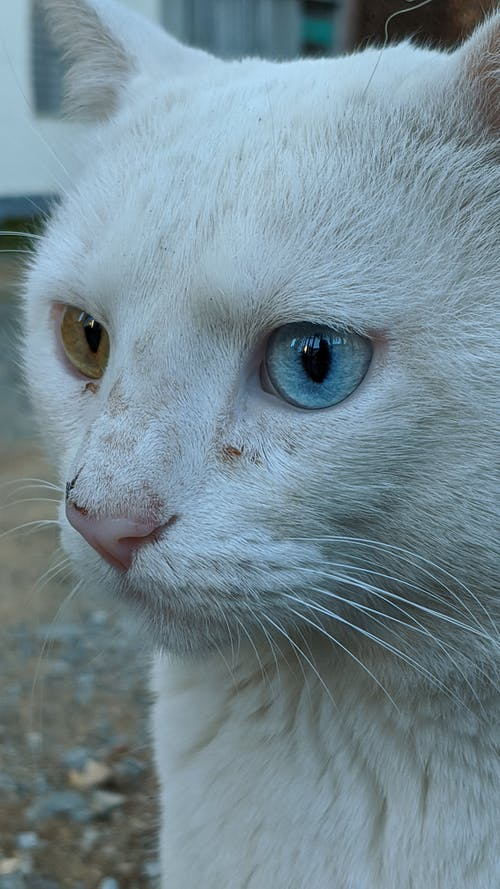 Dirty cat with eyes of various colors in town