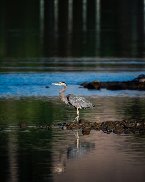 佛羅里達大沼澤地, 動物, 反射, 大藍鷺 的 免費圖庫相片