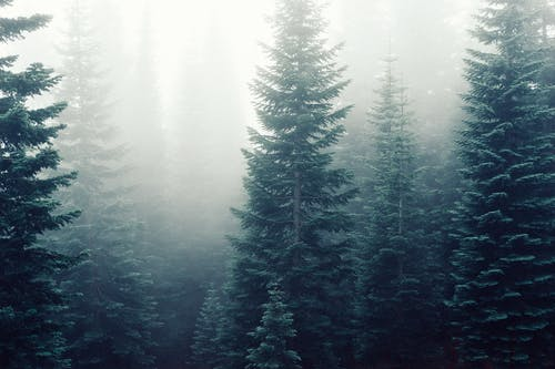 คลังภาพถ่ายฟรี ของ ต้นสนเฟอร์, ต้นไม้, ป่า, พร่ามัว