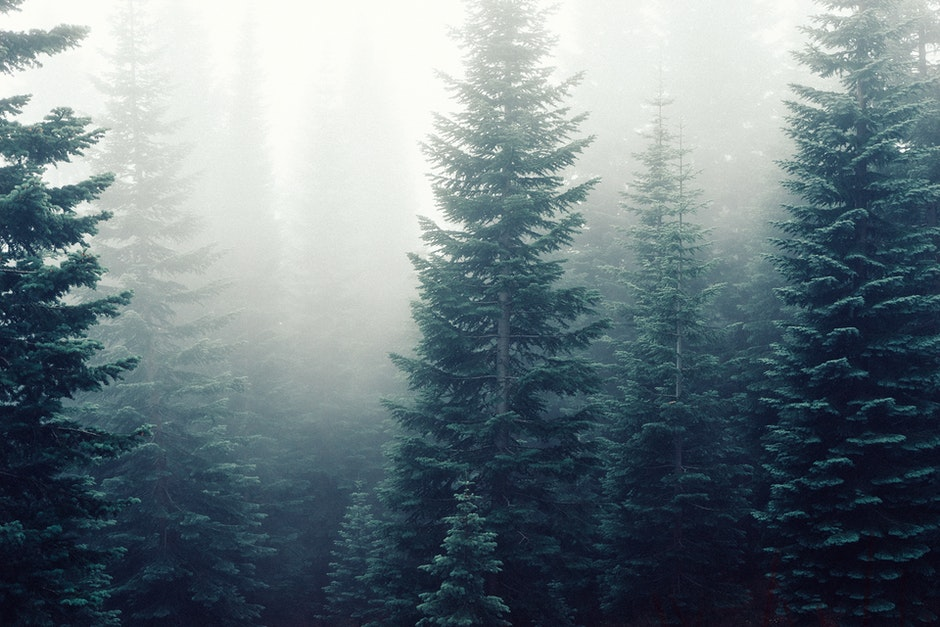 firs, fog, foggy