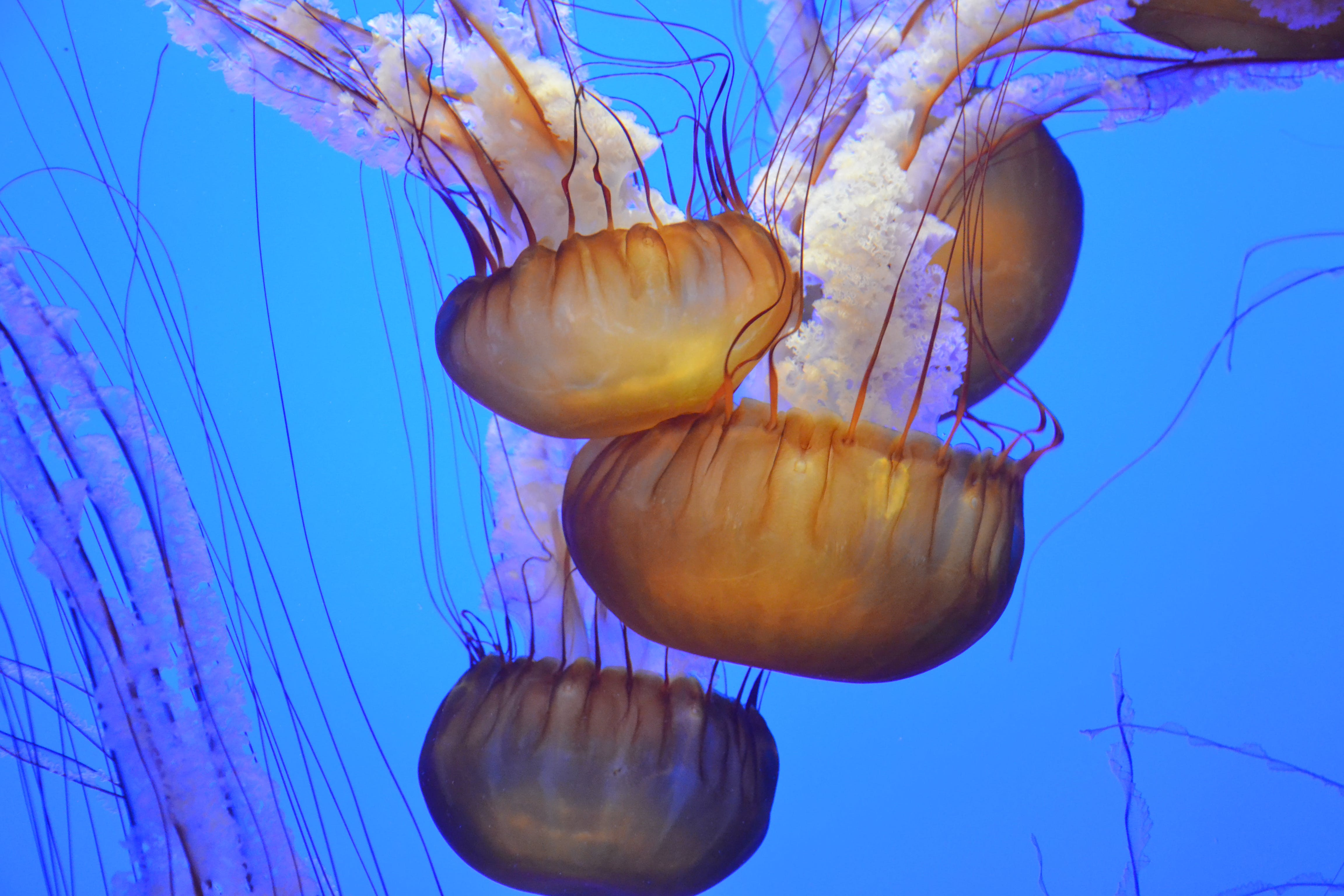 Four Giant Brown Jellyfish Underwater