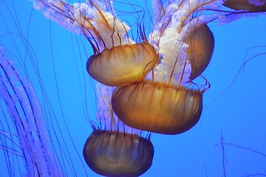 Free stock photo of ocean, underwater, jellyfish, jellyfishes