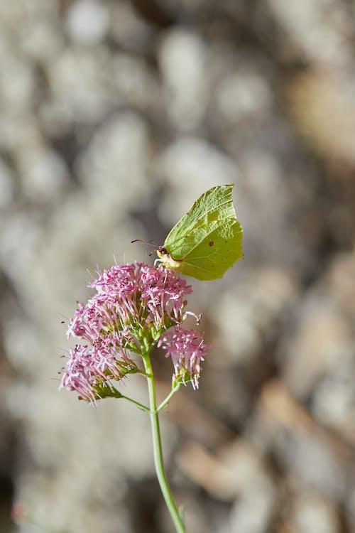 Free stock photo of mariposa, mariposa - insecto, mariposa en una flor