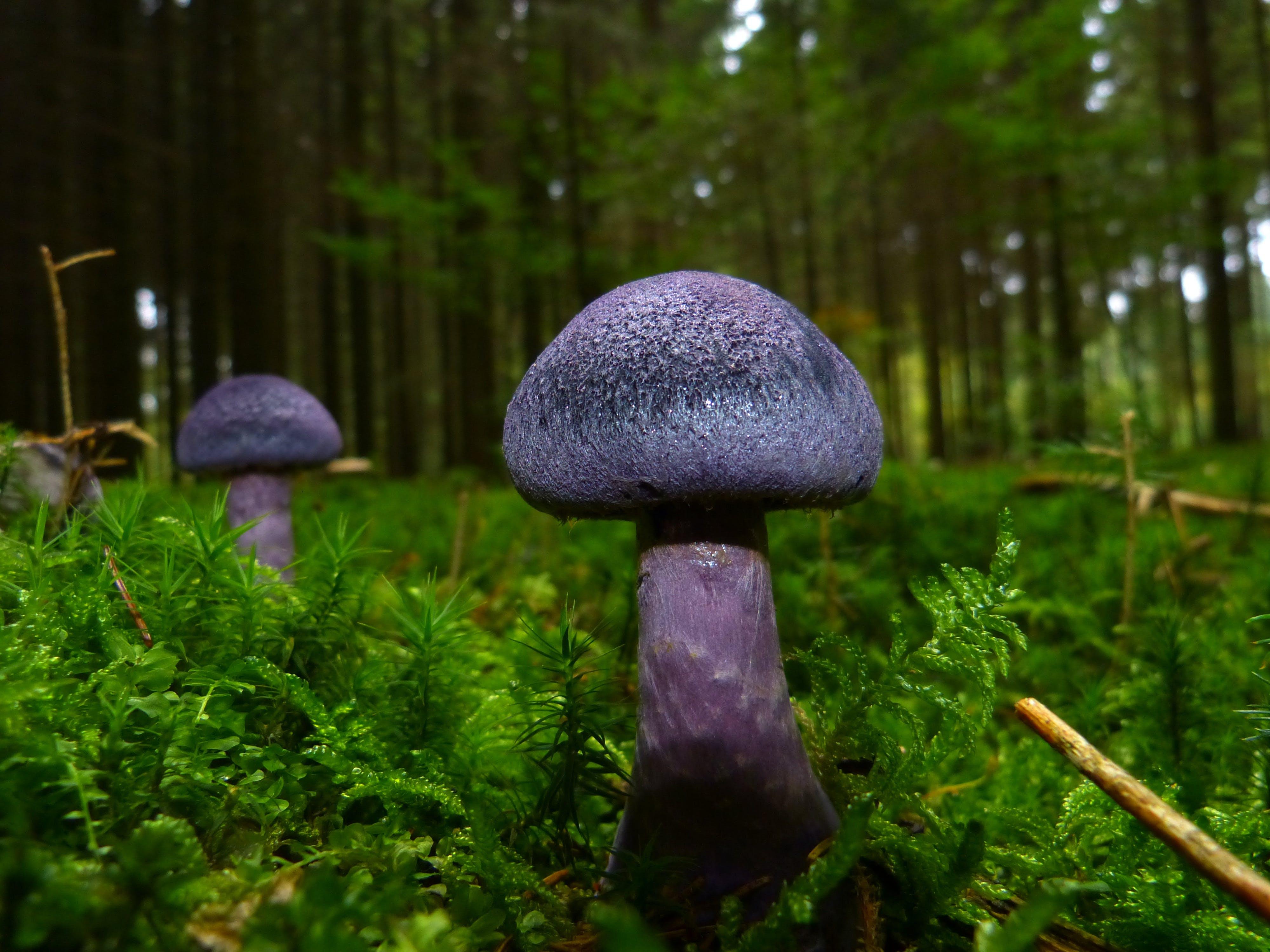 Purple Mushrooms on Green Field