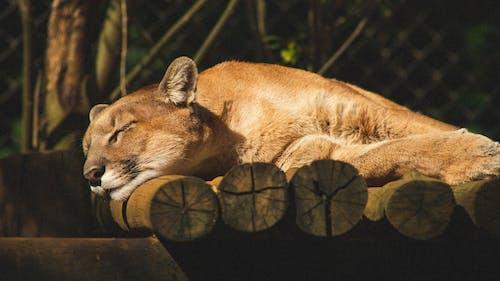 Lioness sleeping on tree trunks in zoo