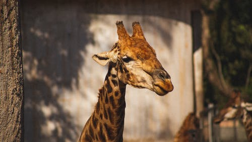 Giraffe with spotted coat in zoological garden