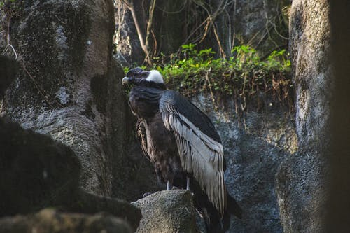 Andean condor resting on stone in zoo