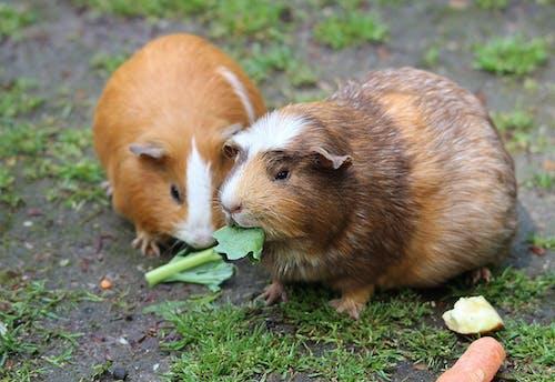 Kostenloses Stock Foto zu essen, haustier, meerschweinchen, nagetier