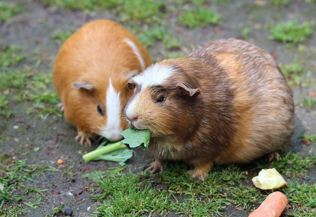 Brown Hamster Eating a Green Leaf