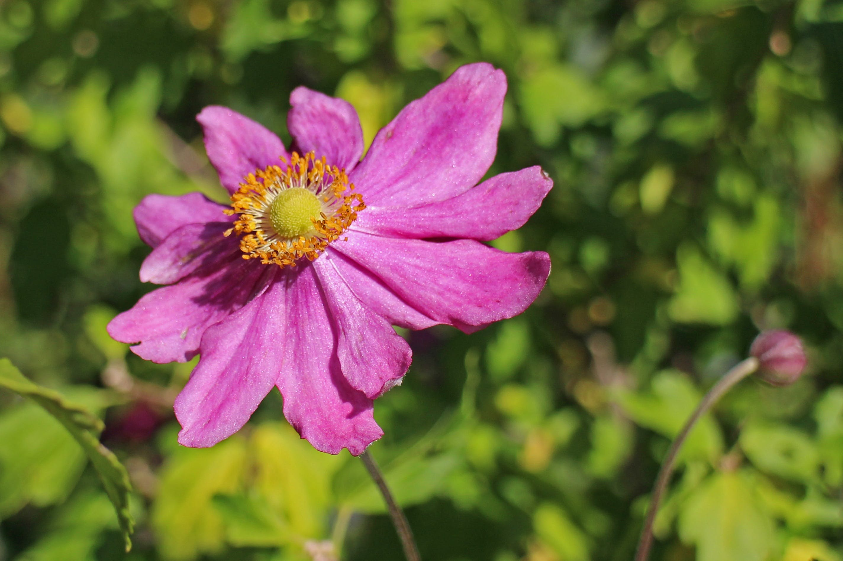 Kostnadsfri bild av blomma, flora, makro, natur