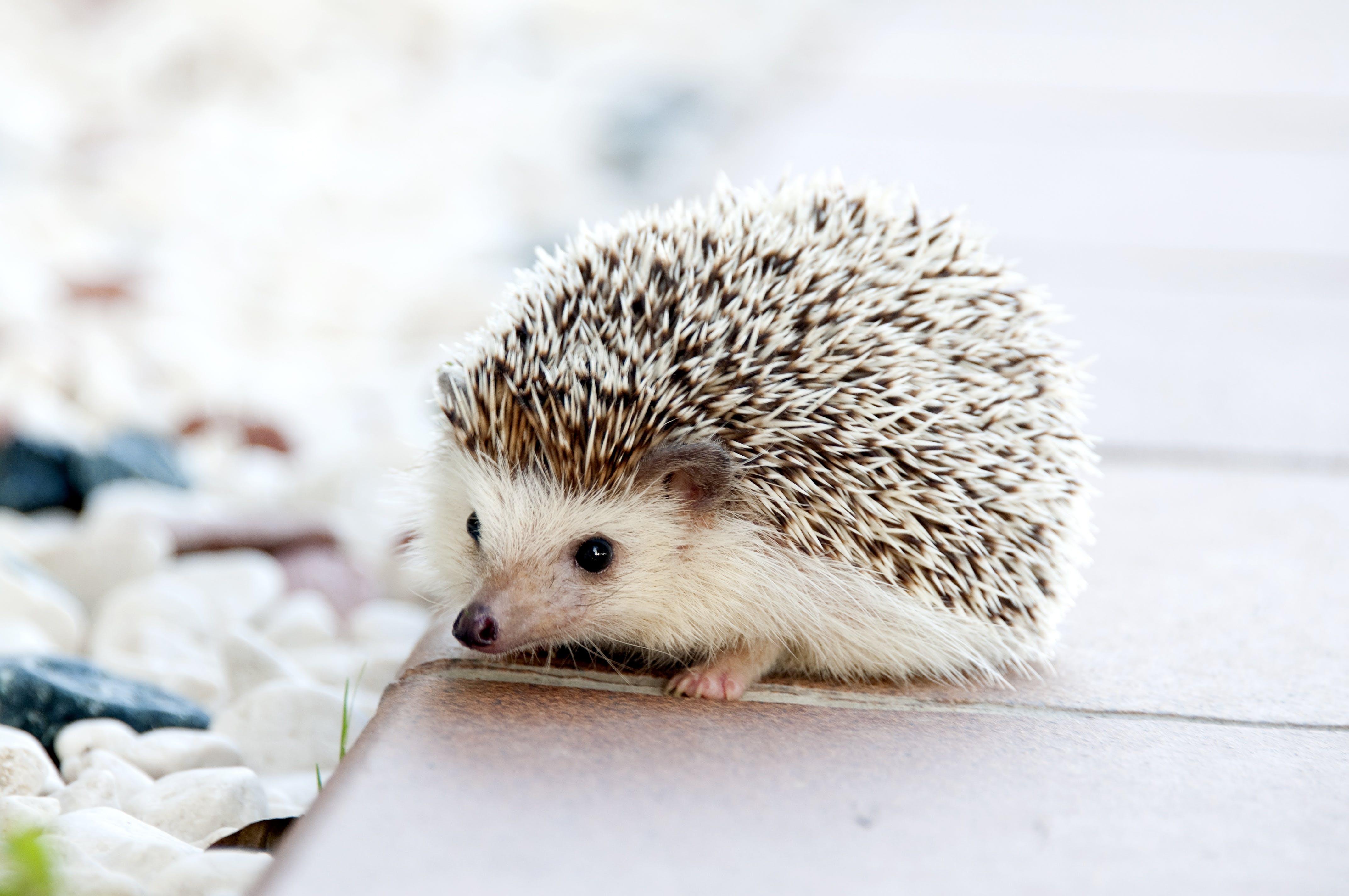 Shallow Photo of Hedgehog