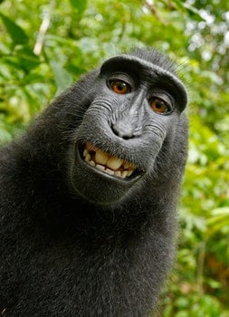 Black Chimpanzee Smiling