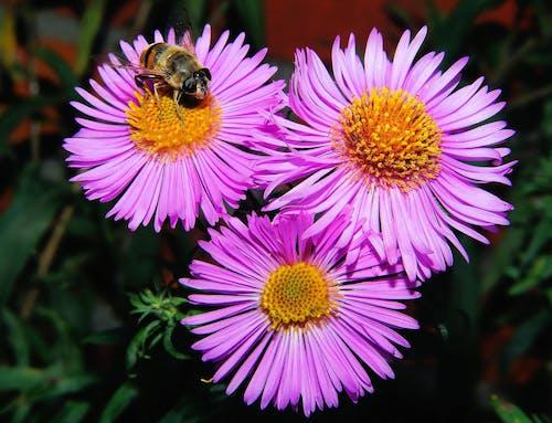 Foto profissional grátis de abelha, área, aumentar, camomila