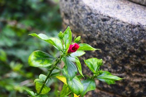 Gratis arkivbilde med blomster, Hibiskus