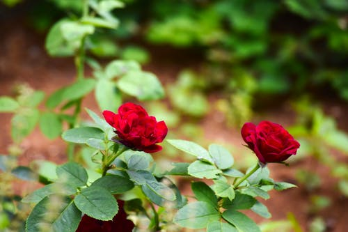 Free stock photo of garden roses, Red Rose, roses