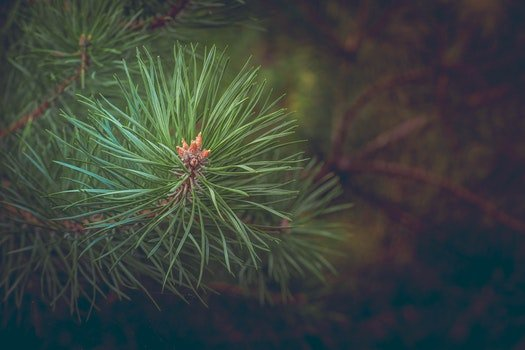 Green Pine Needles at Daytime