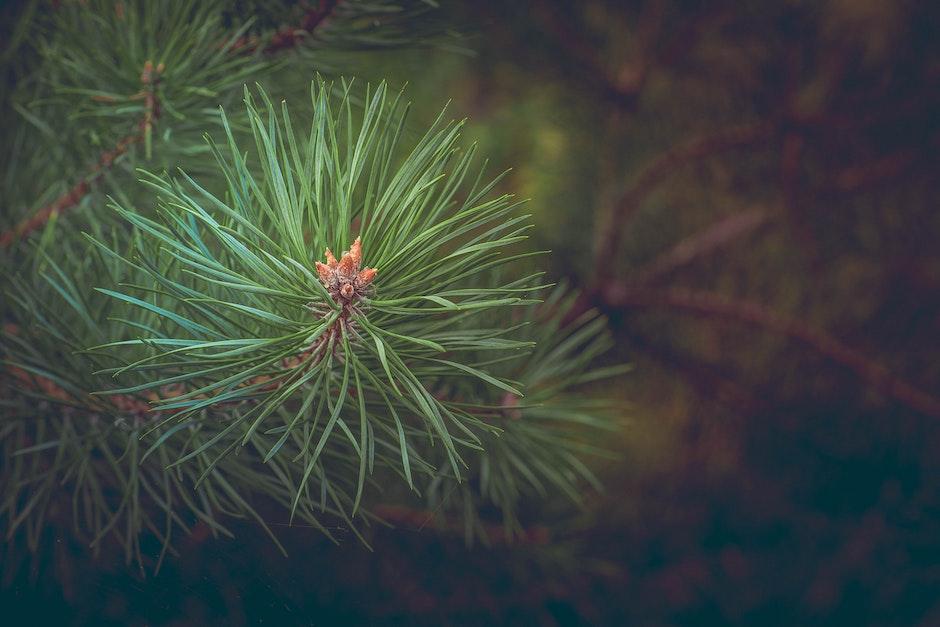 Green Pine Needles at Daytime