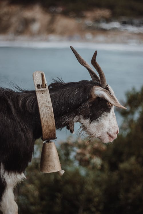 Black and White Goat on Brown Wooden Stand