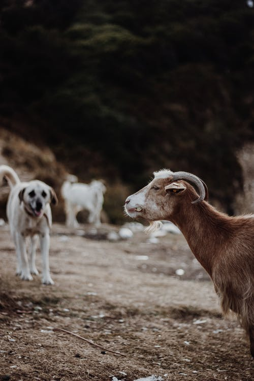 Brown and White Goats on Brown Field