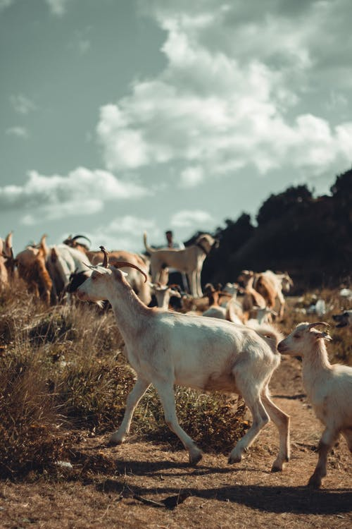 Herd of Goats on Brown Grass Field