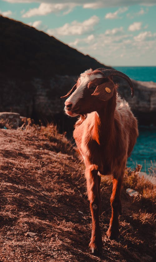 Brown and White Goat on Brown Grass Field