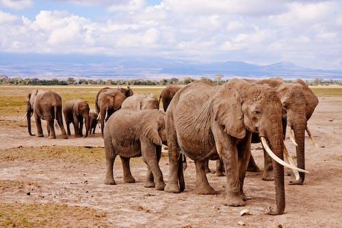Foto d'estoc gratuïta de animals, cel, elefants, fotografia d'animals