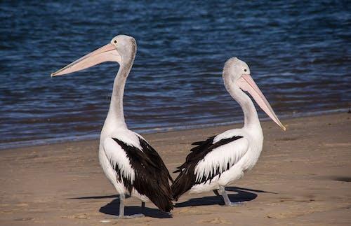 Základová fotografie zdarma na téma pelikáni, peří, pobřeží, zvířata