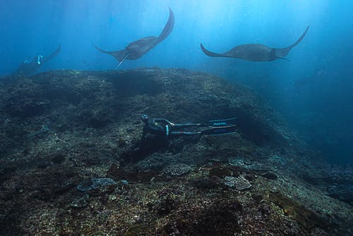Divers Underwater Swimming with Manta Rays