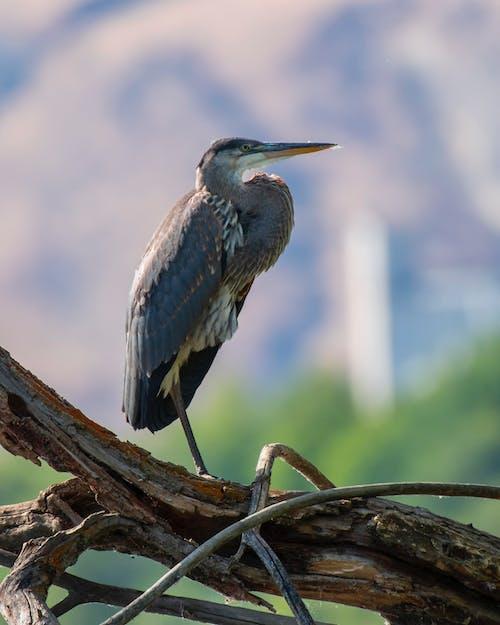 Бесплатное стоковое фото с большая голубая цапля, вода, водно-болотные угодья, гнездо