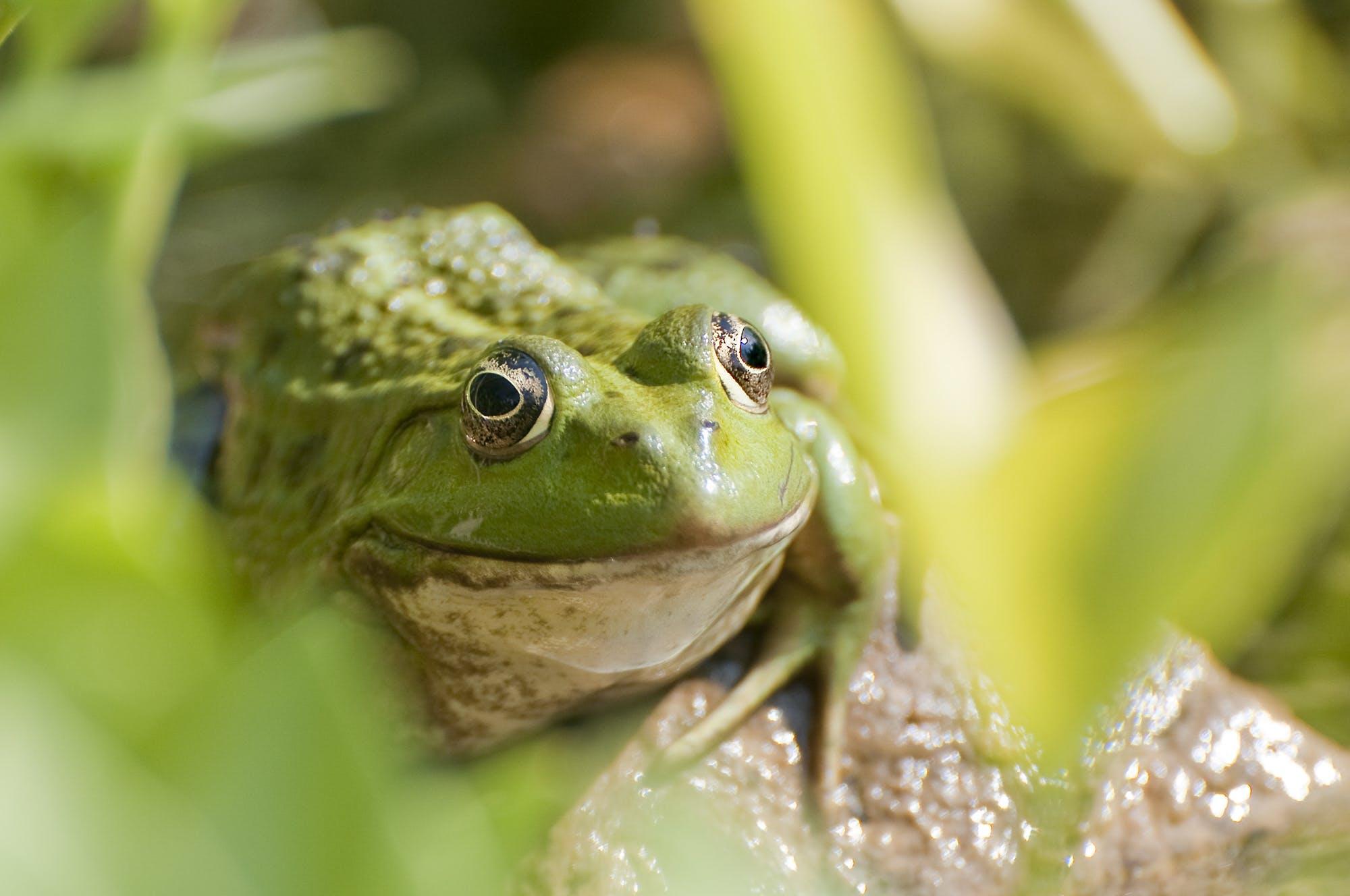 animal, frog, green