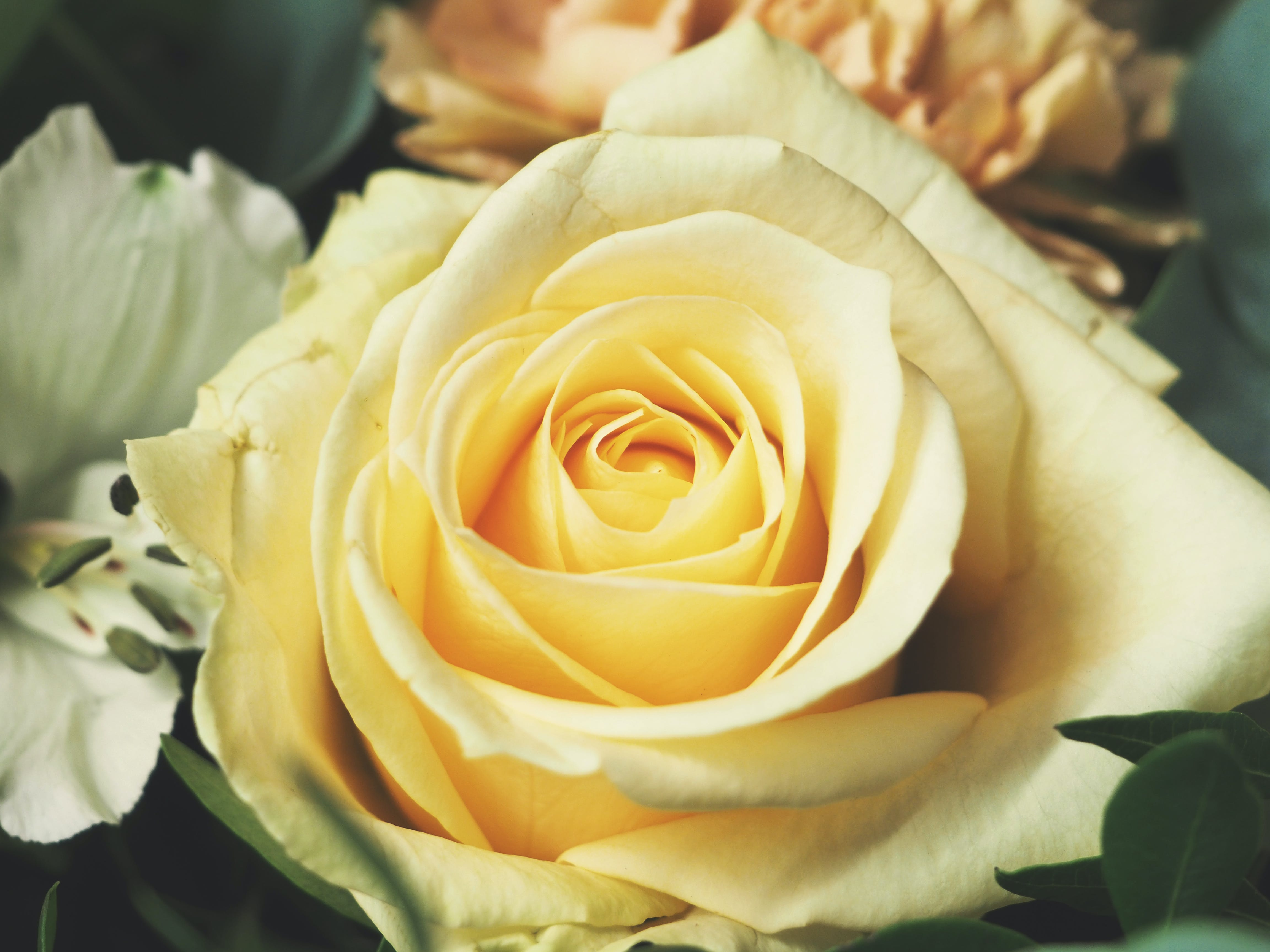Selective Focus Photo of Yellow Rose in Bloom