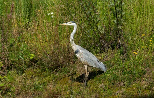 Free stock photo of animal, bird, reiger