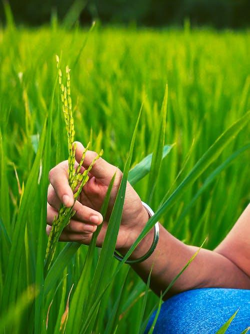 Crop farmer touching wheat spike in countryside field
