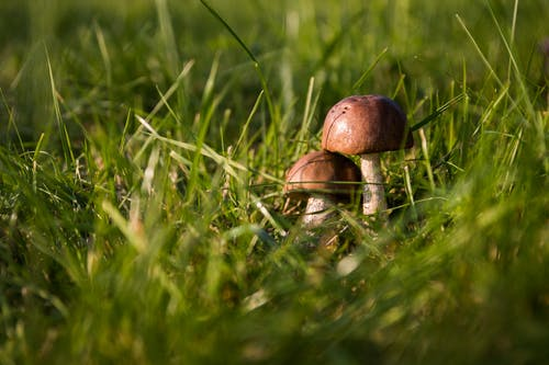 Two Brown Mushrooms